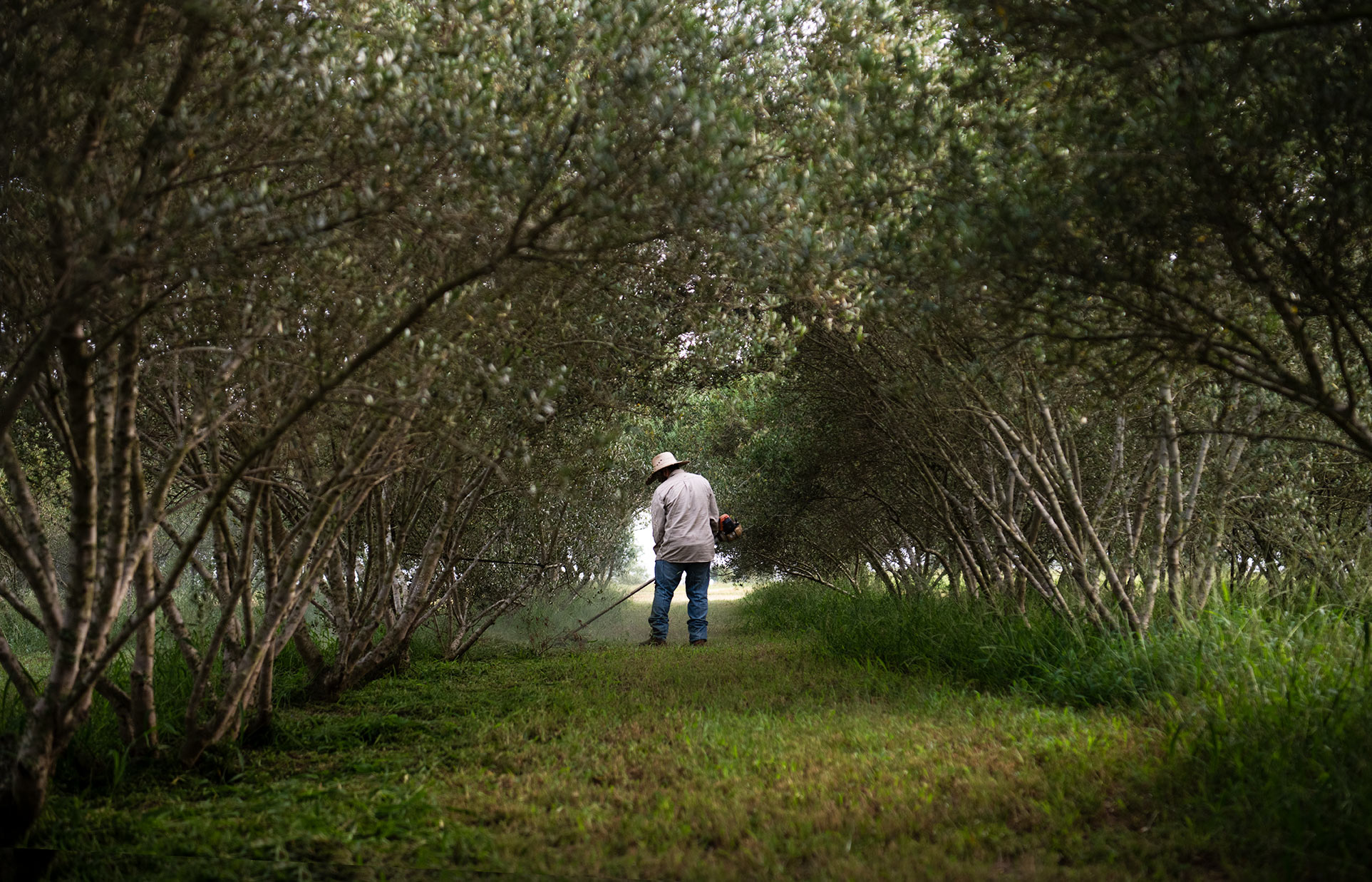 Maintaining the olive orchard
